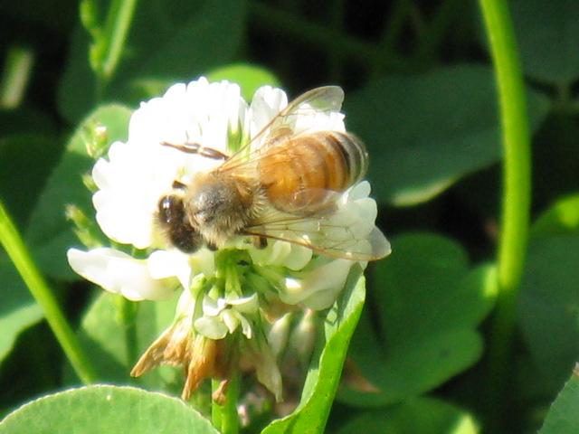 ミツバチの画像 p1_21