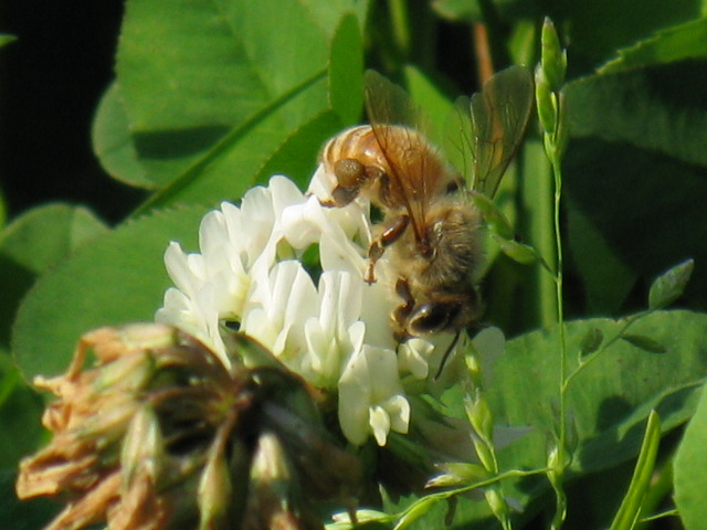 ミツバチの画像 p1_23