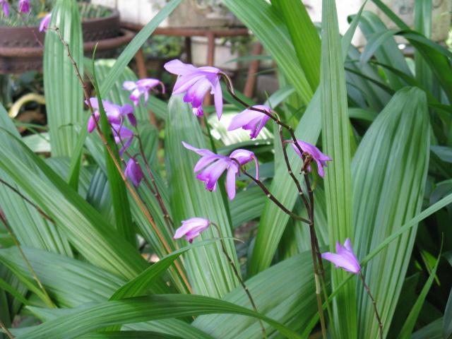 シラン (植物)の画像 p1_13