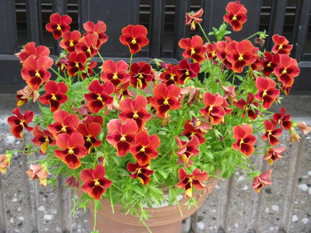 ビオラ (植物)の画像 p1_4