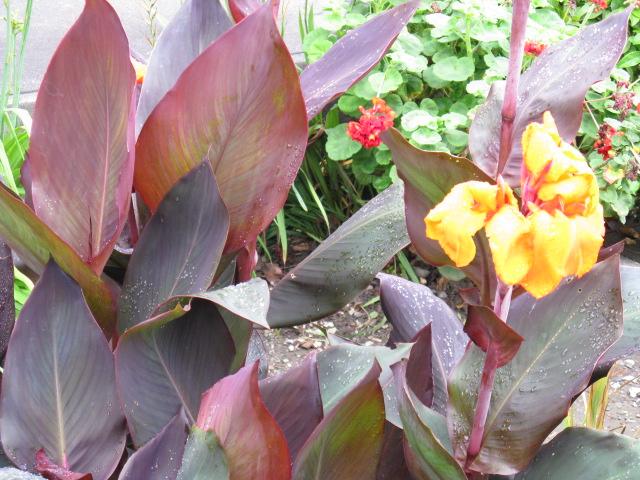 カンナ (植物)の画像 p1_29