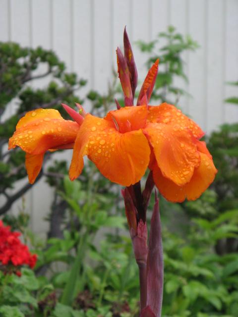 カンナ (植物)の画像 p1_31