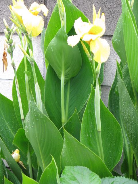 カンナ (植物)の画像 p1_15