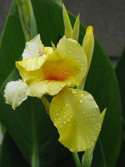 カンナ (植物)の画像 p1_5