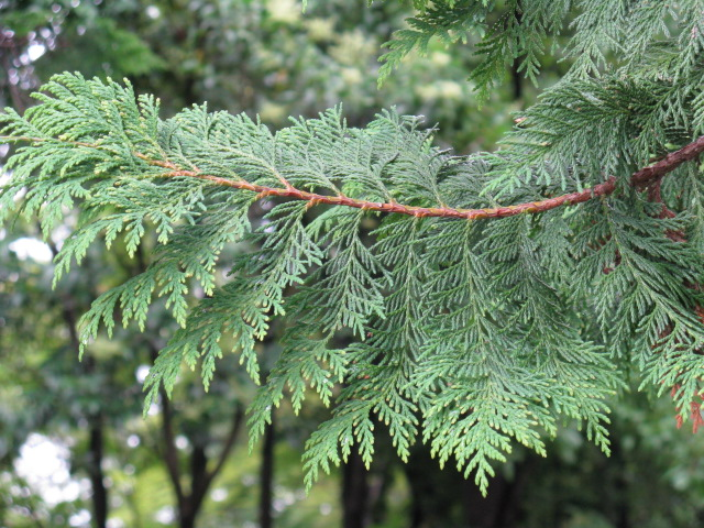 サワラ (植物)の画像 p1_19