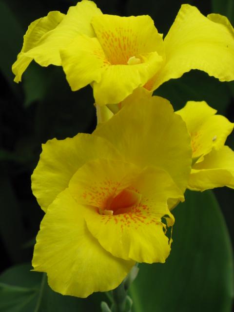 カンナ (植物)の画像 p1_7
