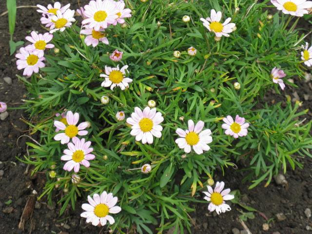 マーガレット (植物)の画像 p1_6