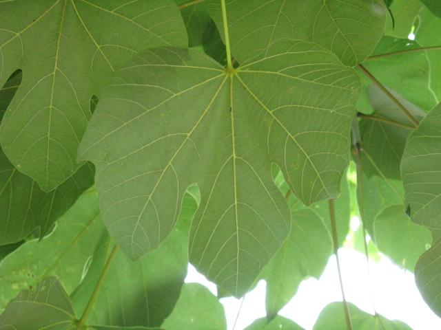 植物編のアオギリ科のアオギリ