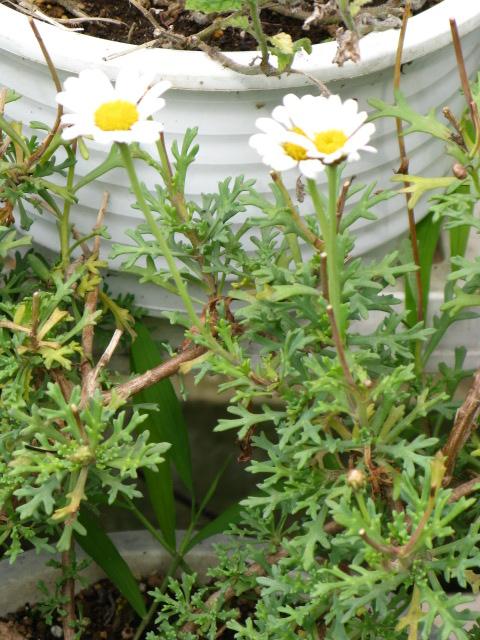 マーガレット (植物)の画像 p1_3