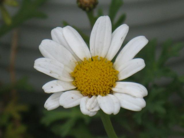 マーガレット (植物)の画像 p1_27