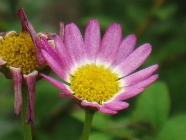 マーガレット (植物)の画像 p1_7