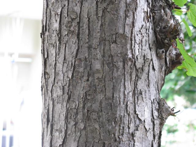 カツラ (植物)の画像 p1_5