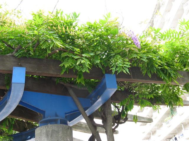 フジ (植物)の画像 p1_8