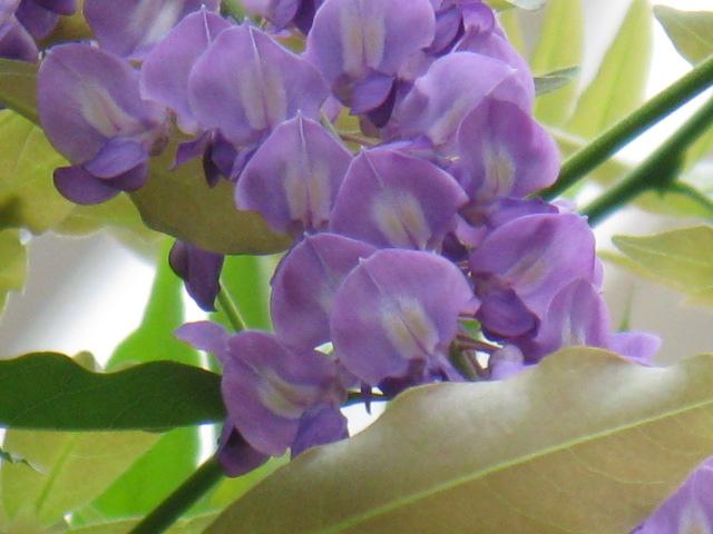フジ (植物)の画像 p1_9