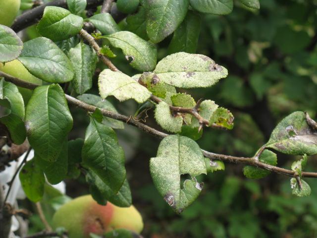 ボケ (植物)の画像 p1_26