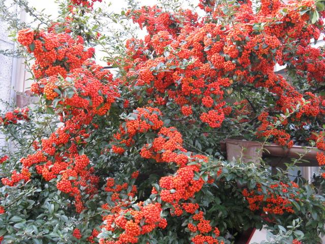 植物編のバラ科のトキワサンザシ(トキワサンザシ) バラ科 トキワサンザシ