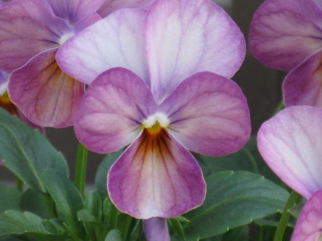 ビオラ (植物)の画像 p1_7