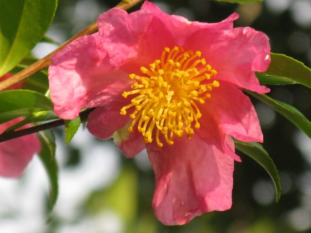 植物編のツバキ科のサザンカ(山茶花) 参照  植物編のツバキ科のサザンカ