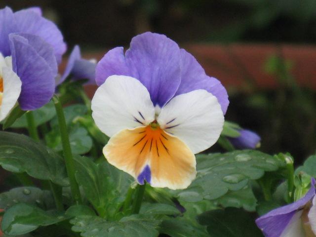 ビオラ (植物)の画像 p1_6