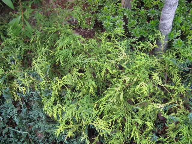 サワラ (植物)の画像 p1_16
