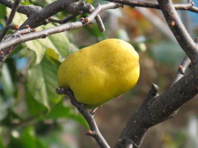 ボケ (植物)の画像 p1_16