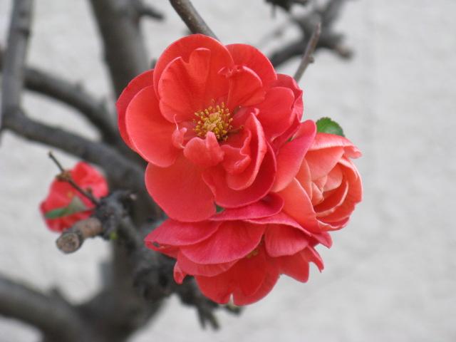 ボケ (植物)の画像 p1_19