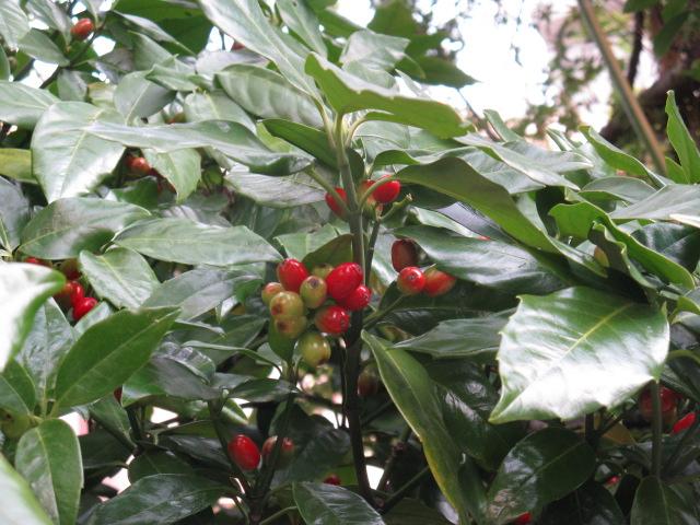 アオキ (植物)の画像 p1_12