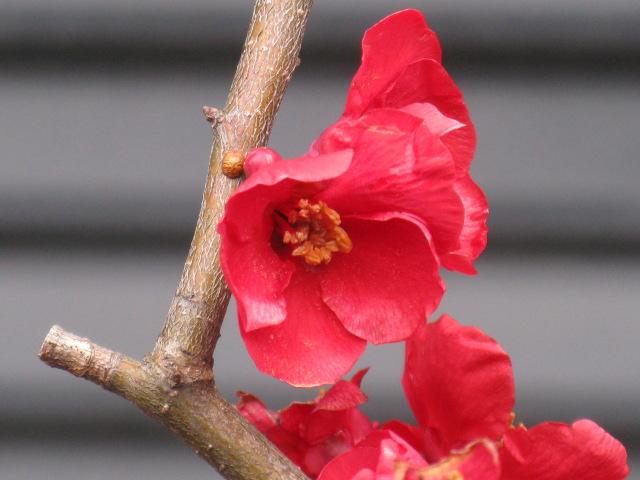 ボケ (植物)の画像 p1_24