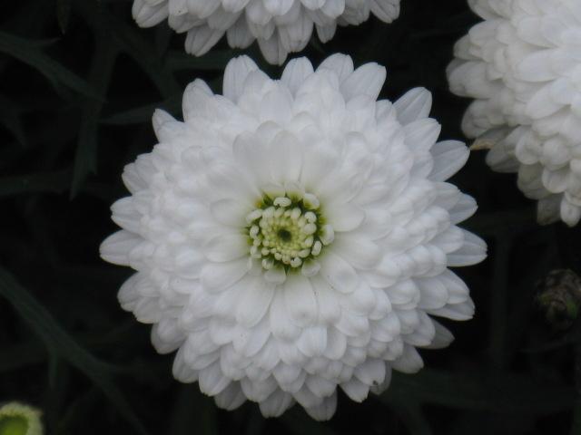 マーガレット (植物)の画像 p1_17