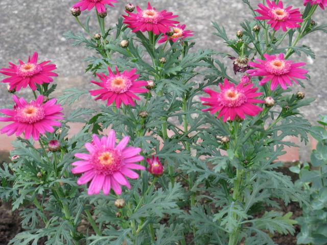 マーガレット (植物)の画像 p1_35