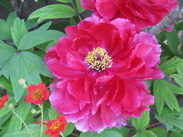 ボタン (植物)の画像 p1_27