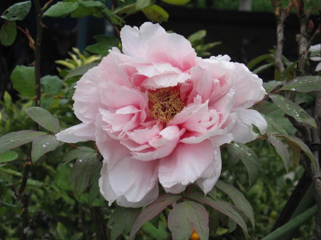 ボタン (植物)の画像 p1_3