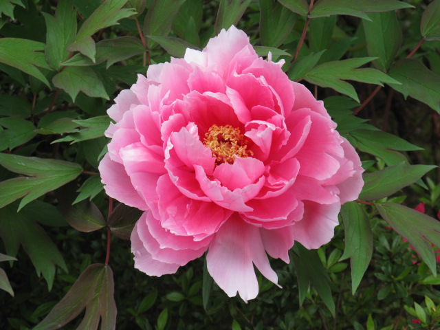 ボタン (植物)の画像 p1_19