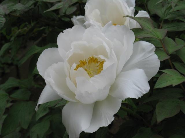 ボタン (植物)の画像 p1_33