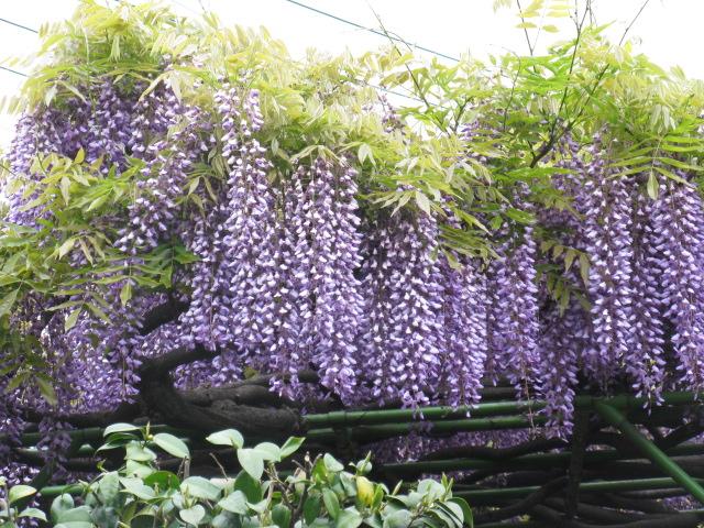フジ (植物)の画像 p1_32