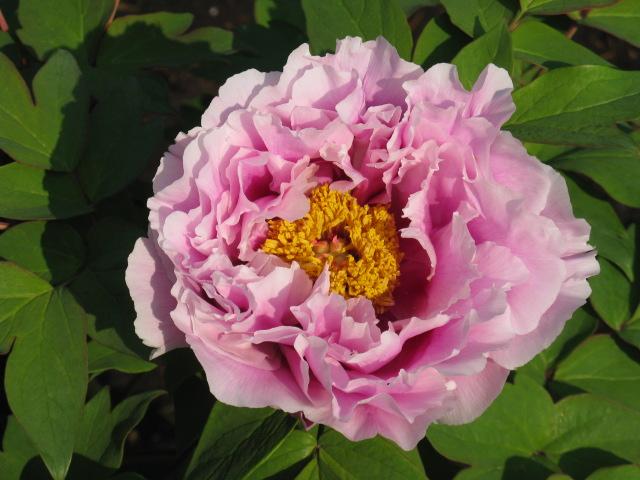 ボタン (植物)の画像 p1_38