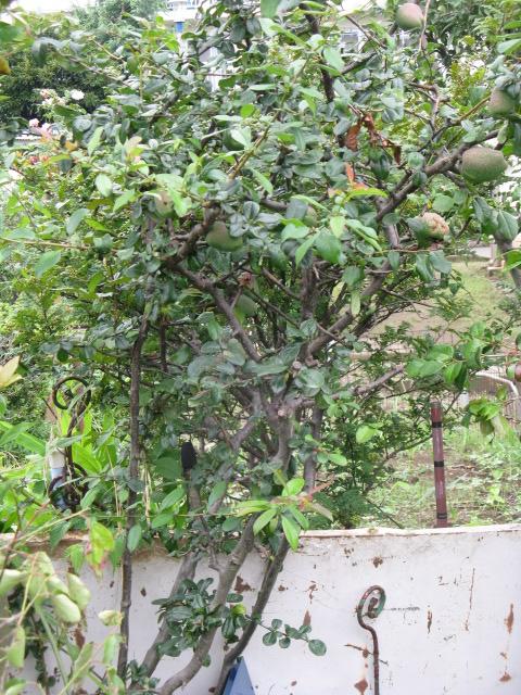ボケ (植物)の画像 p1_7
