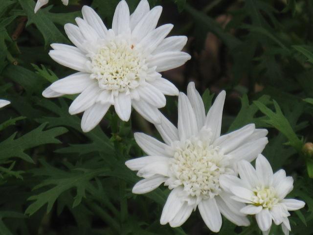 マーガレット (植物)の画像 p1_20