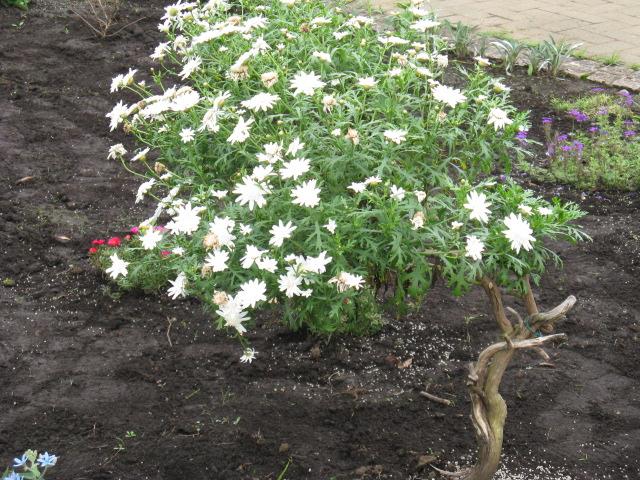 マーガレット (植物)の画像 p1_29