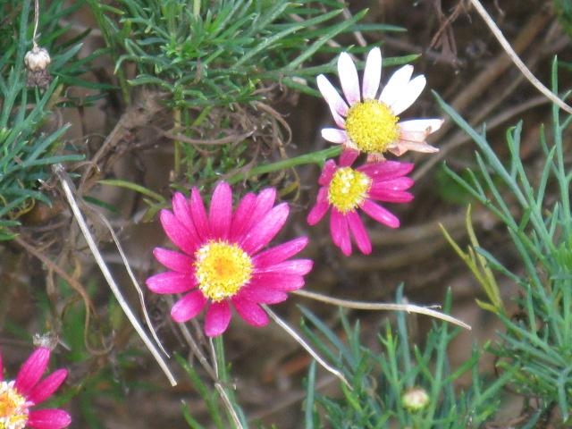 マーガレット (植物)の画像 p1_39