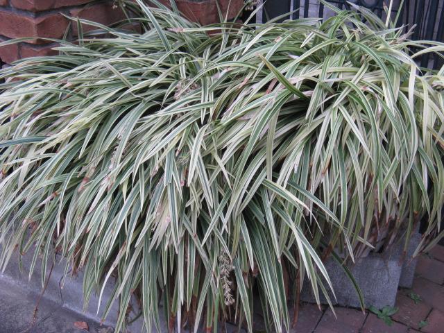 シラン (植物)の画像 p1_7
