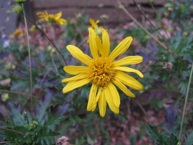 マーガレット (植物)の画像 p1_19