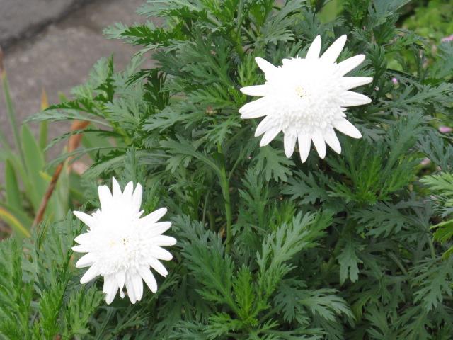 マーガレット (植物)の画像 p1_9