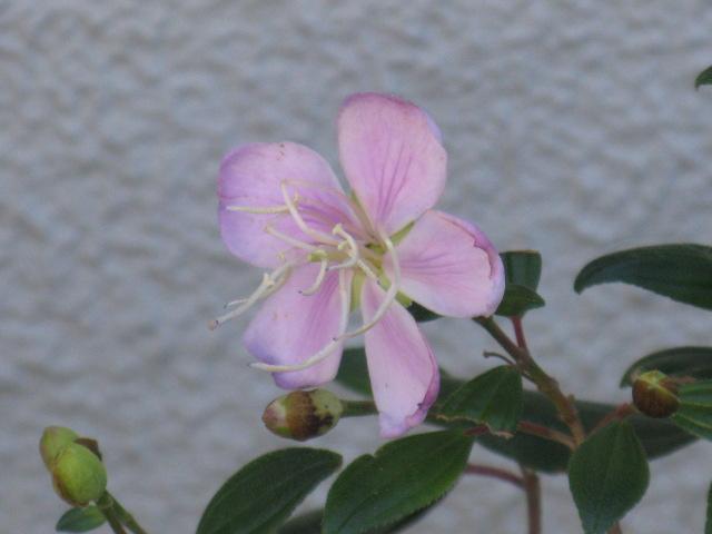 ボタン (植物)の画像 p1_7