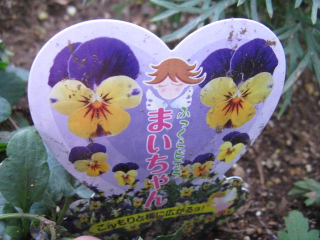 ビオラ (植物)の画像 p1_15