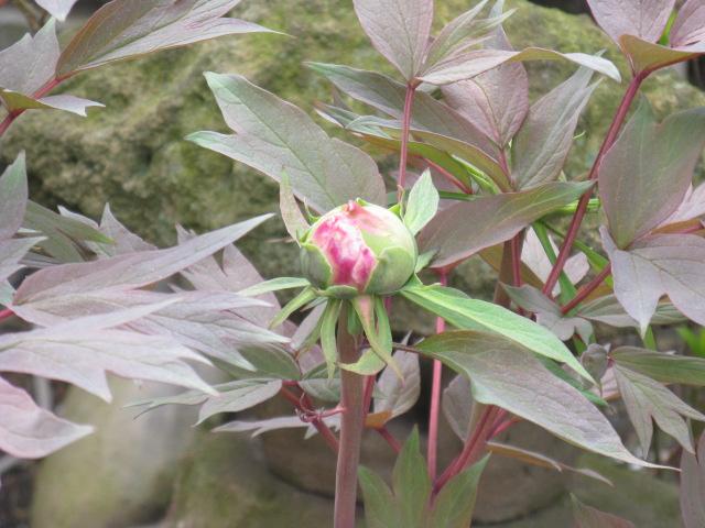 ボタン (植物)の画像 p1_18