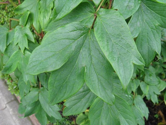 ボタン (植物)の画像 p1_36