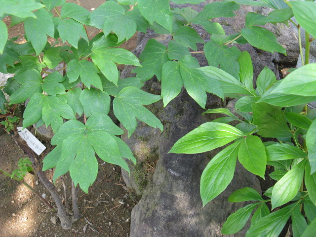 ボタン (植物)の画像 p1_24