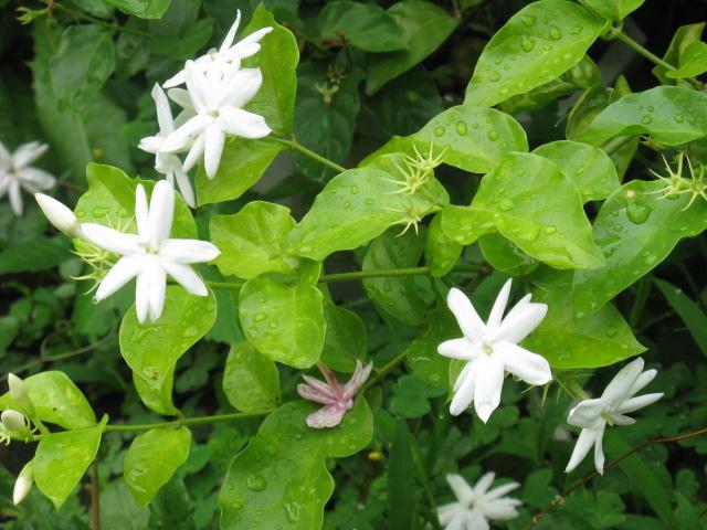 植物編のモクセイ科のマツリカ(茉莉花) 参照 植物編のモクセイ科のマツリカ