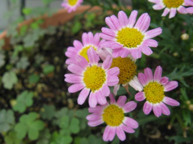 マーガレット (植物)の画像 p1_1